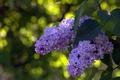 Picture lilac, macro, Bush