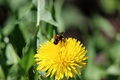 Picture bee, dandelion, pollen