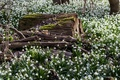 Picture snowdrops, glade, forest, spring, flowers