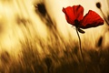 Picture blurred background, Maki, silhouette, Mac, petals, poetic, blur, flower, al, light, flowers, red