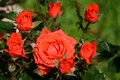 Picture flowers, roses, the rose Bush