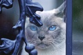 Picture cat, decor, metal, curls, elements, blue-eyed, the expression, blue eyes, portrait, cat, looks, face, behind ...