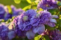 Picture macro, lilac, clematis, clematis