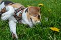 Picture summer, grass, dog, lies, dandelions, by dashakern