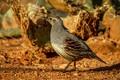 Picture female, bird, common quail crested
