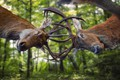 Picture forest, deer, horns, the battle, greens, bokeh, battle, trees, the fight, background, muzzle, two