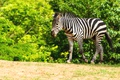 Picture summer, greens, zoo, strips, Zebra, the bushes, trees, artiodactyls, nature, animals