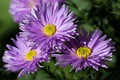 Picture flowers, petals, asters