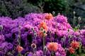 Picture flowering, Mac, azaleas, flowers