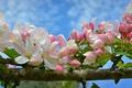 Picture spring, flowering, buds, macro, branch, Apple, flowers