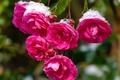 Picture Bokeh, Pink roses, Pink roses