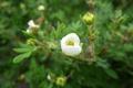Picture Flower, Life, White, Belarus, Macro, Garden
