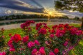 Picture the sun, roses, morning