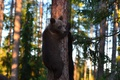 Picture forest, trees, tree, bears, bears, bears