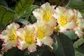 Picture macro, Azalea, rhododendron