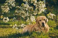 Picture look, branches, dog, spring, garden, flowering, Labrador Retriever