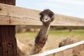 Picture eyes, bird, beak, ostrich, looks, long neck