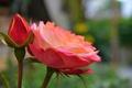 Picture Rose, Bud, Rose, Bokeh, Bokeh