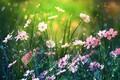 Picture nature, bokeh, summer, kosmeya, by dashakern