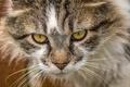 Picture cat, muzzle, cat, look, portrait