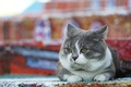 Picture cat, street, color, chubby, background, grey, fat face, lies, look, cat