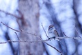 Picture bird, Arboreal passerine Bunting, branches, bokeh
