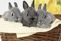 Picture grey, kids, basket, rabbits, trio