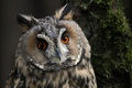 Picture look, bird, long-eared owl