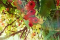 Picture Nature.Plants, Currants, Red