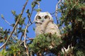 Picture nature, owl, bumps, needles, the sun, the sky, branches, white