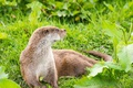 Picture greens, grass, leaves, nature, otter, European Otter