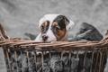 Picture puppy, basket, dog