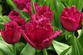 Picture Burgundy, Rosa, buds, closeup, tulips, leaves