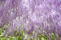 Picture tenderness, Wisteria, flowers