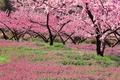 Picture Isawa, Yamanashi, flowering, Japan, spring, garden, peach