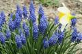 Picture blue, Narcissus, Bush, spring 2018, Meduzanol ©