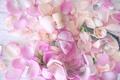 Picture rose, oil, spa, petals, petals, pink roses, pink