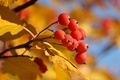 Picture leaves, berries, food, currants