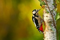 Picture woodpecker, birch, bird, the orderly forest, branch, bokeh, tree