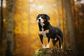 Picture stump, dog, bokeh, Kimo, The Entlebuch cattle dog