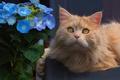 Picture cat, flower, red cat, hydrangea, muzzle, look, portrait
