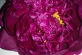 Picture flowers, Pink, peony