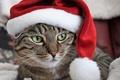 Picture cat, portrait, Santa, face, cap