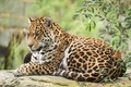 Picture cat, animal, Jaguar, stay