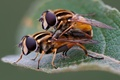 Picture hoverflies, pair, insects