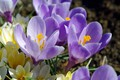 Picture the color purple, joy, bulbous, flora, primroses, crocuses, plants, nature, beauty, macro, flowers