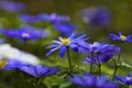 Picture anemone, blue, forest, Anemone