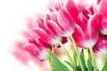Picture leaves, glare, background, tulips, pink, buds, wet, bokeh, closeup