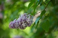 Picture nature, inflorescence, lilac, branch