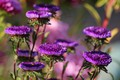 Picture autumn, flowers, beauty, beautiful, flowering, September, cottage, asters